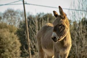 small donkey walking in a meadow photo