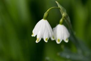 Snowdrop stem with two flowers on blurry background