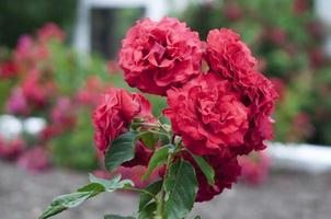 Roses in park set three