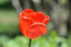 one red tulip on stem.