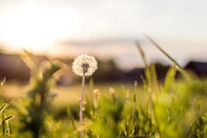 Dandelion in meadow at sunset