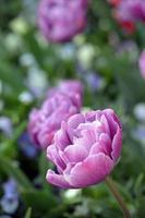 verse roze tulpen