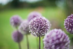 Purple head flower stem in green garden