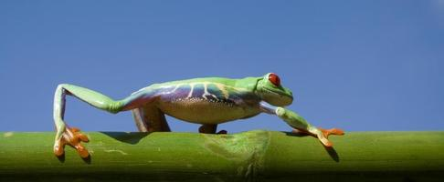 frog (agalychnis callidryas) on a bamboo stem photo