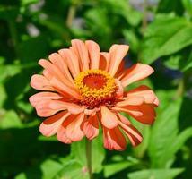 Zinnia flower. photo