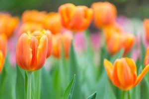 tulipanes naranjas foto