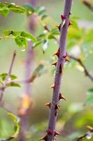 espinosa rosa salvaje en lluvia de otoño foto