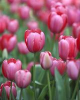tulipanes en araluen, australia occidental foto