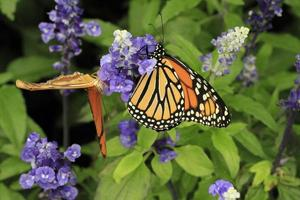 Butterflies and flowers photo