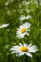 white camomile flowers photo