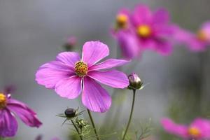 Cosmos flowers photo