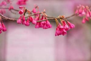hermosa flor de ping en Japón