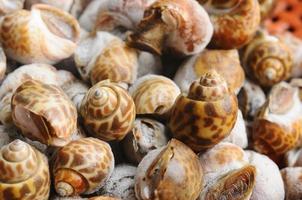 Babylonia-Areolata gefroren, konservieren (Lebensmittel)
