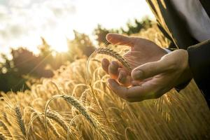 Closeup  hands of businessman cupping a ripe ear of wheat photo