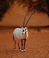 The Desert Oryx photo