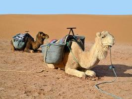 Camels in desert photo