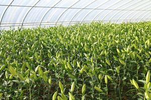 los lirios se plantan en invernaderos foto