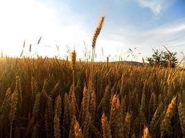 campo de cebada y cielo foto