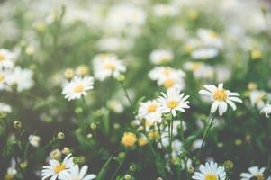 A patch of bright white and yellow daisies