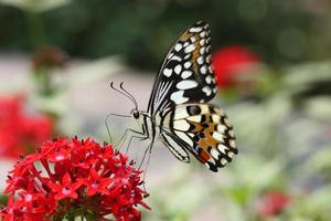 beautiful flying butterfly (Monarch) on red flower