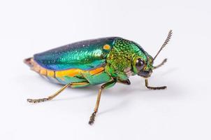 Escarabajo joya hermosa o metal-aburrido aislado sobre fondo blanco.