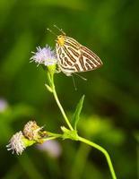Club silverline butterfly resting on flower