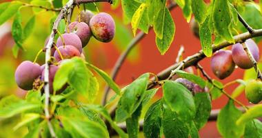 Red ripe plums on the tree