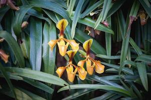 Zapatilla de señora o paphiopedilum villosum orquídea salvaje en thaila