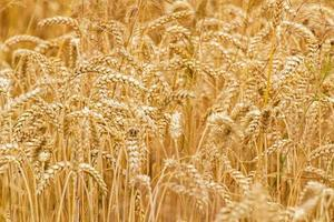Wheat field closeup as nature background photo