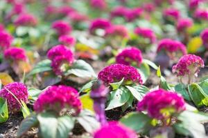crête de coq violet dans le jardin
