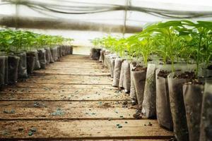 pequeñas plantas de pimiento en un invernadero para trasplantar