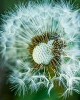 Close up of dandelion fluff