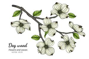 dibujo de flores y hojas de cornejo blanco vector