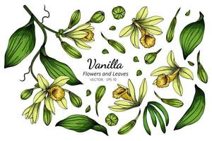 Set of Vanilla Flower and Leaf Drawing