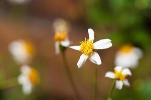 Mexican daisy