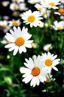 manzanillas blancas hermosas