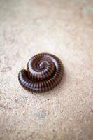 millipede photo
