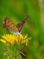 colorful wings on the dandelion flower #2