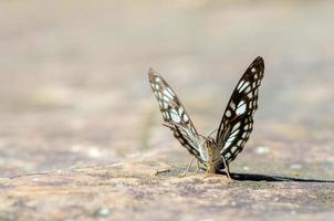 common jay butterfly photo