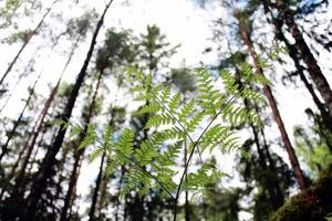 Fern from below with bright background and tree tops. photo