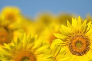 Beautiful sunflowers of Tuscany in Italy against blue sky