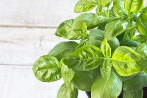 Basil herb over white wooden background