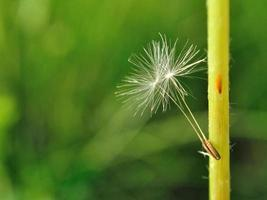 Two little dandelion seeds