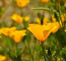 Beautiful wildflower eschscholzia californica in foreground photo
