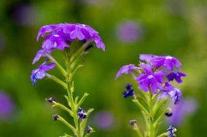 Purple vegetable mercury flowers in garden.