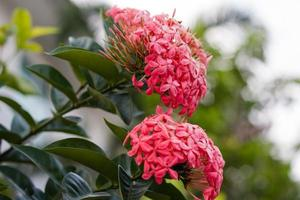 Beautiful Red Ixora Flower in garden photo