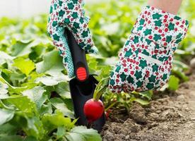 rábano verde saludable foto