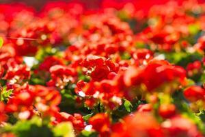 Red flowering begonia plants in summer