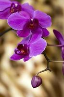 Purple orchid heads
