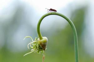 mosca hemiptera nezara viridula heteroptera pentatomidae palomera prasina en ajo